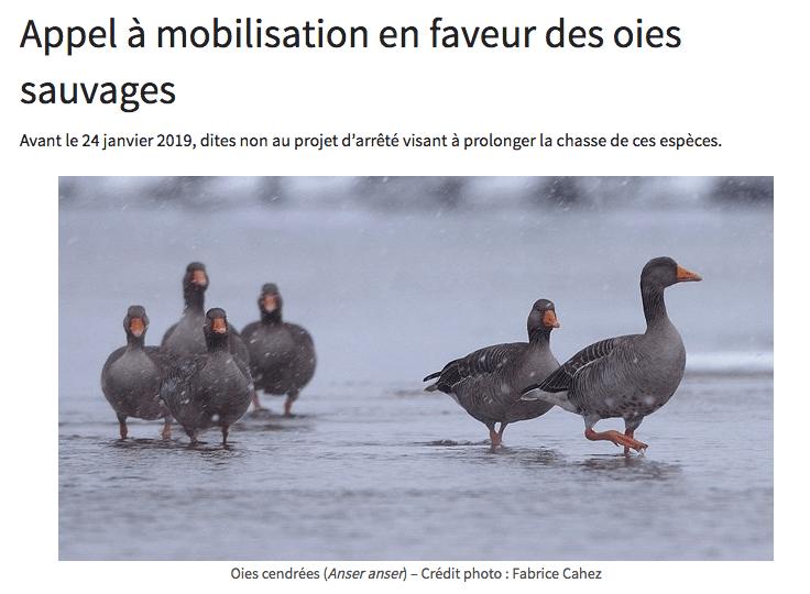 Appel Mobilisation En Faveur Des Oies Sauvages ELV Rhne Alpes